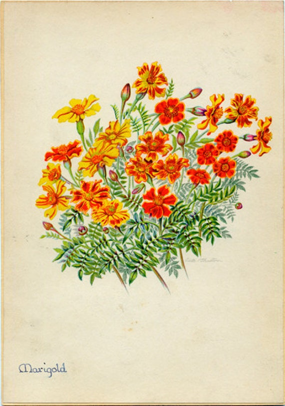 Marigold Vintage Botanical Illustration by Edith Johnston from A Book Of Garden Flowers