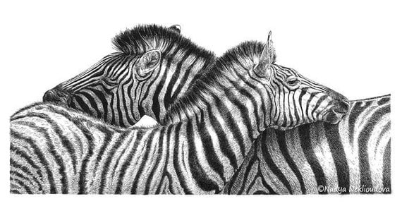 Zebra Love Print of Pen and Ink Drawing 16x8 inches