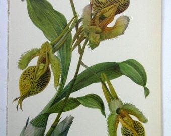 Vintage Orchid Illustration, Botanical Print , Catasetum fimbriatum No. 52