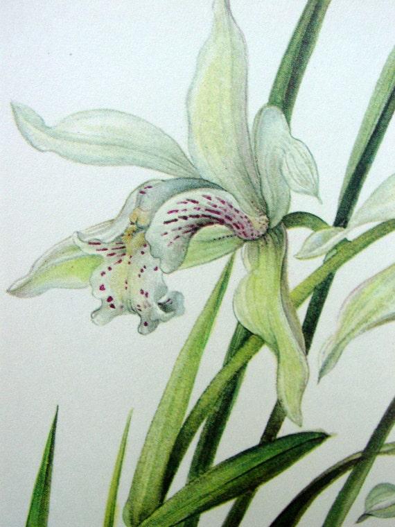 Vintage Orchid Illustration, Botanical Print, Cymbidium nicolasianum,  No. 72