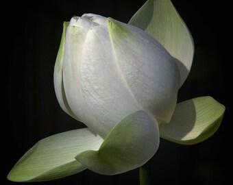 Solitaire - White Lotus Blossom Photo Art Print