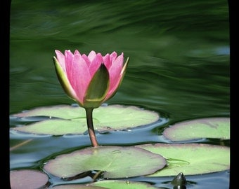 Stillness Within Motion - Pink Water Lily Ripples