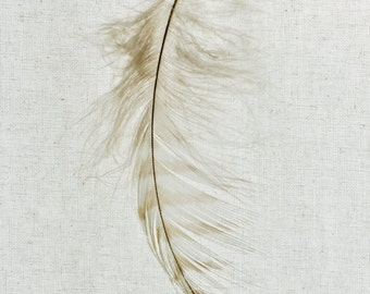 Owl Feather Art Photograph - Natural History Series - Fleeting