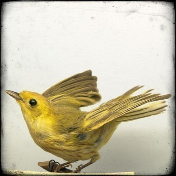 Yellow Bird Art Print from Natural History Series - Specimen 652