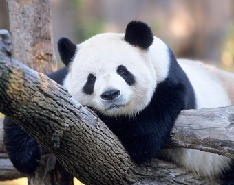 Panda Bear, 5x7 Matted Wild Animal Photography, Wildlife Nature Photograph, Endangered Species Print, Nursery Kids Wall Art