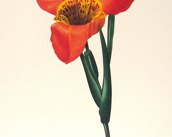 Tigridia Pavonia 1981 Large Vintage Colored Botanical Book Plate