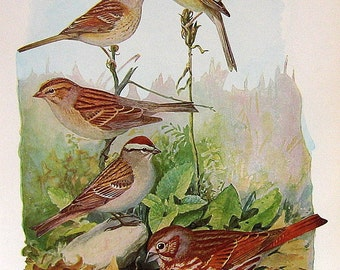 1936 Bird Print FUERTES  Sparrows P83