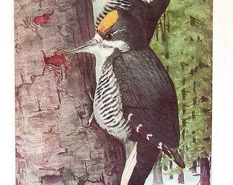 Fuertes Bird Print - 1936 Bird Print Book Plate Fuertes Woodpecker P59