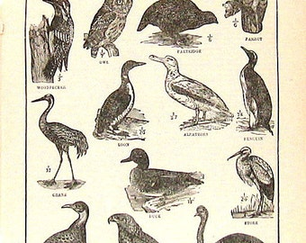 Typical Birds 1914 Vintage Dictionary Book Plate Black and White