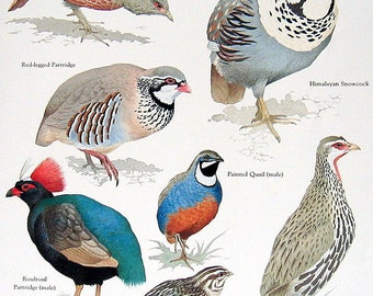 Partridge, Quail, Spurfowl Vintage 1984 Birds Book Plate