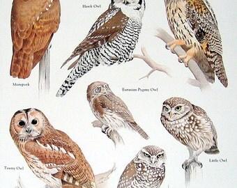 Hawk Owl, Tawny Owl, Little Owl Vintage 1984 Birds Book Plate