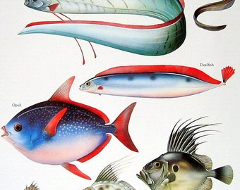 Oarfish, Dealfish, Opah, Boarfish 1984 Vintage Fish Book Plate Colored