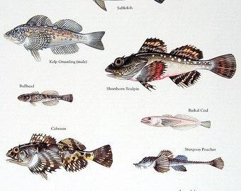 Sablefish, Baikal Cod, Striped Seasnail, Lumpfish 1984 Vintage Fish Book Plate Colored