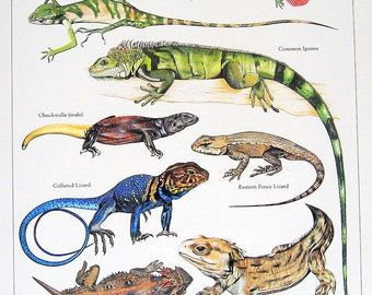 Green Anole, Forest Iguana, Collared Lizard, Commom Iguana Vintage 1984 Reptiles Book Plate