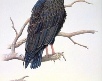 1989 Vintage Bird Illustration Turkey Vulture