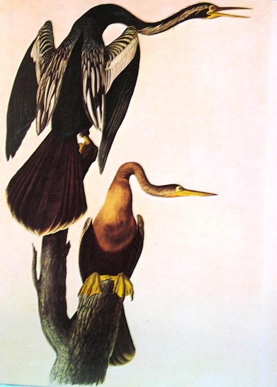 Audubon Birds - 1978 Vintage Audubon Bird Print - Snake Birds