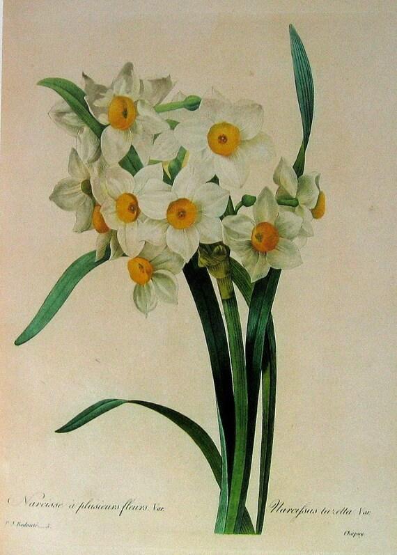 White Narcissus 1979 Vintage Botanical Book Plate P52