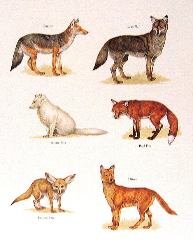 ... Dingo Vintage 1984 Animals by mysunshinevintage Armadillo Y Pangolin