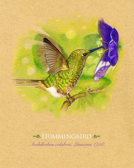 Art Print Hummingbird   8x10 Inches   Can be personalized