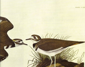 Killdeer Audubon Print to Frame or for Collage, Scrapbooking, Paper Arts, Assemblage and MORE PSS 1452