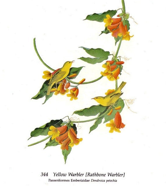 Audubon Yellow Warblers for Framing, Altered Art, Collage, Scrapbooking, Paper Arts, Assemblage and MORE