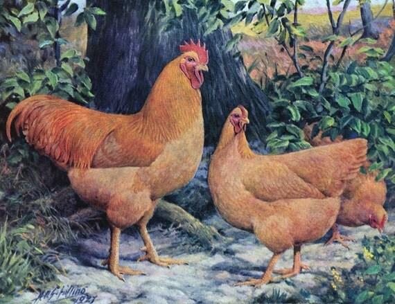 Buff Rock Chicken Buff Plymouth Rock Chickens