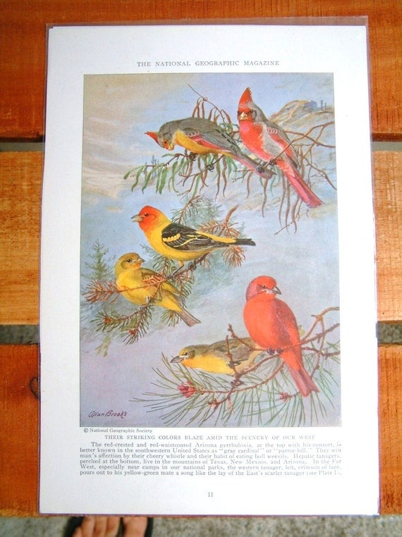 Vintage Grey Cardinal and Tanager Bird Print from National Geographic Ornithology Scientific Plate Audubon Prints Woodland Bird Print Rustic