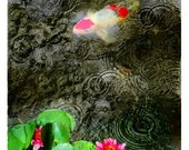 Dark rain, 11x17 inches, Original Signed, Fine Art photograph, Lotus, pond, Artist gardens, Koi, rain drops, Home decor, Wall art