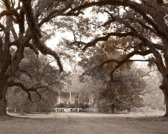 Plantation Decor, Live Oaks, Art Print, Southern Photography, Sepia Style Photo, Landscape Print, Wall Decor, Fine Art Photo, Office Decor