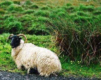 Sheep Photograph, Animal Photo, Ireland Print, Connemara Ram, Nature Decor, Fine Art, Home Decor, Wall Artwork, 5 x 7 Print