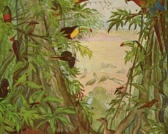 Vintage Tropical American Birds and British Birds Double Sided Lithograph
