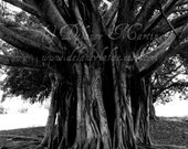 Tree of Life - black and white art photography - nature art of Banyan tree, tropical forest -