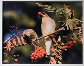 Cedar Waxwing, 8 by 10 giclee print