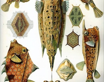 Instant Download Haeckel Ostraciontes Fishies Everywhere Red Brown Green You Print Digital Image