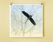 Heron Glide - Color - 8x8 Signed Fine Art Photograph - nature photography, home decor, wall art