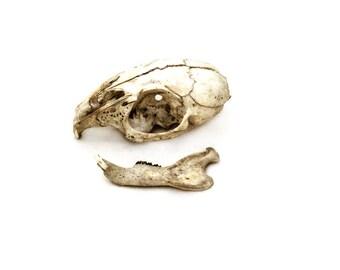 Natural History Photograph Rabbit Skull Sepia Print Bones Anatomy Photography