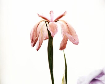 Peach Pink Flower Wall Art Iris Vintage Style Shabby Chic Photography
