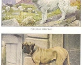 Vintage 1900s Pyrenean Sheep-Dog and Mastiff by Louis Agassiz Fuertes