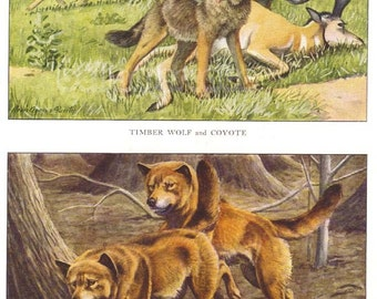 Timber Wolf Coyote and Dingo Vintage 1910s Illustration by Louis Agassiz Fuertes