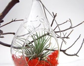 Air Plant in a Morning Dew