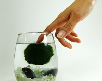 Marimo Pet in the Celtic Sea