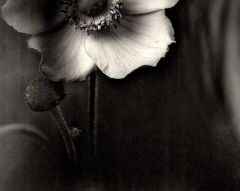 "Black and white photography. ""Anemone..."". Fine art photography print. 8x8 (20x 20cm)"