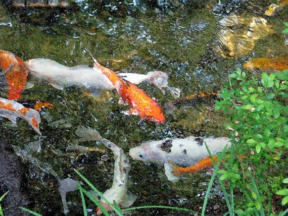 Koi Set, ask about mix and match sizes for savings