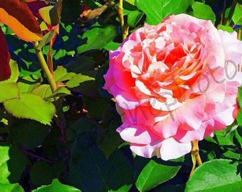 Fine Art Photography-Pink Rose