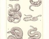 1903 Animal Print - Rattlesnakes - Vintage Antique Home Decor Book Plate Art Illustration for Framing 100 Years Old