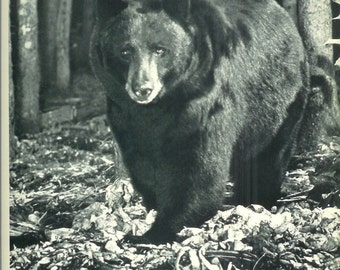 1940s Vintage Photograph - Black Bear - Wonderful 40s Vintage Book Art Photograph Great Vintage Print for Cottage or Cabin