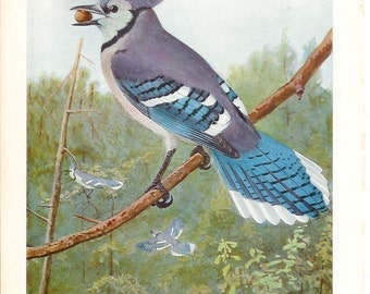 1936 Bird Print - Plates 69 & 70 - Blue Jay - Vintage Antique Art Illustration by Louis Agassiz Fuertes 75 Years Old