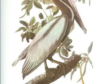 John James Audubon Bird Print - Brown Pelican - Vintage Natural Science Home Decor Art Illustration Great for Framing