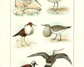 1903 Bird Print - Shore Birds - Vintage Antique Home Decor Book Plate Art Illustration for Framing 100 Years Old