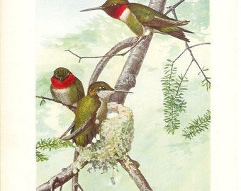 1936 Bird Print - Plates 65 & 66 - Ruby Throated Hummingbird - Vintage Antique Art Illustration by Louis Agassiz Fuertes 75 Years Old